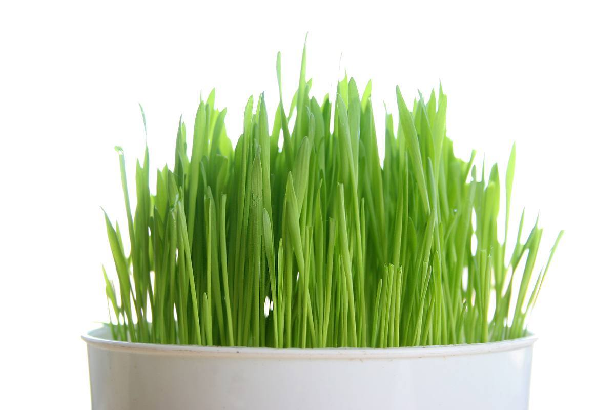 Shot of Wheatgrass A Day Keeps the Pounds Away